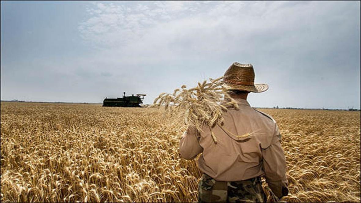 انجام مبارزه شیمیایی در مزارع گندم مازندران