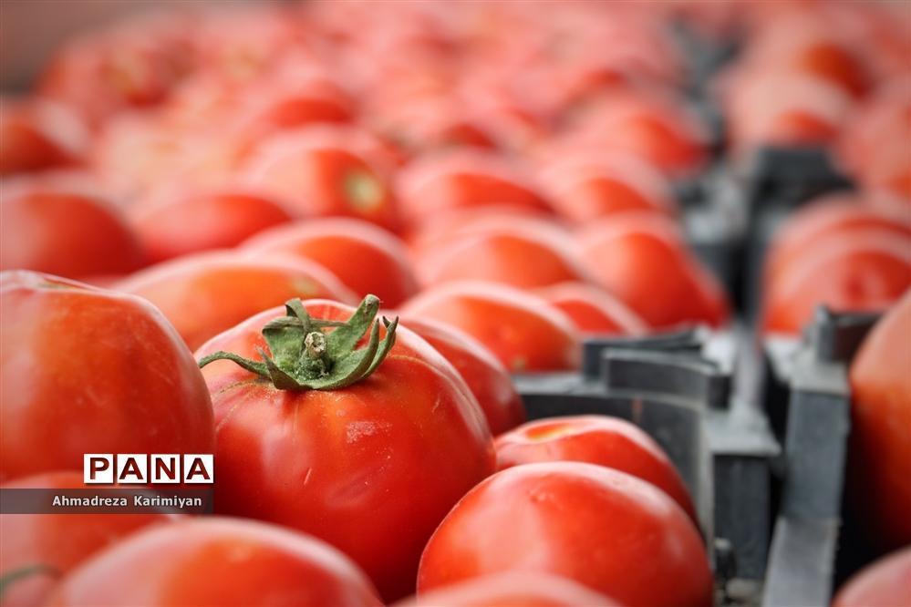 فرایند کاهشی قیمت گوجه با عرضه مستقیم در میادین میوه و تره بار