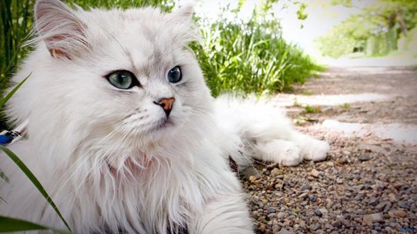 عکس گربه پرشین؛ تصاویری از گربه های ملوس ایرانی