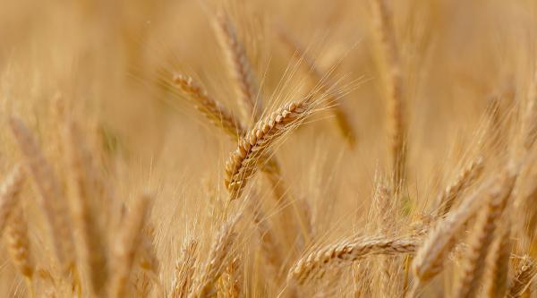 نرخ خرید تضمینی گندم برای سال زراعی نو ابلاغ شد